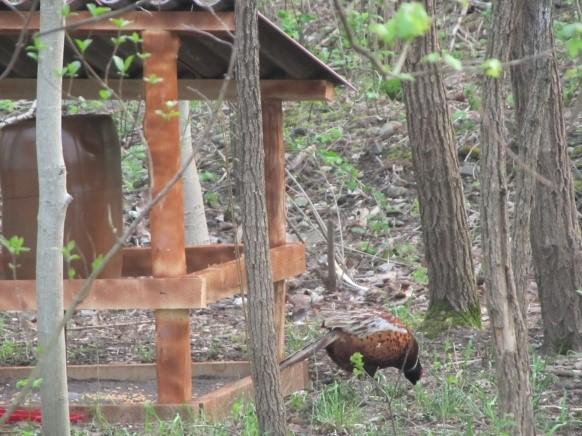 Krmišče za fazane